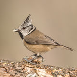 Crested Tit (2)