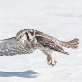 Northern Hawk Owl (7)