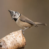 Crested Tit (3)