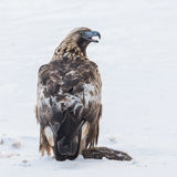 Golden Eagle (1)
