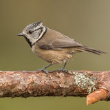 Crested Tit (4)