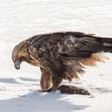 Golden Eagle (3)