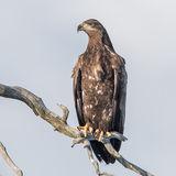 White-tailed Eagle (1)