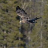 White-tailed Eagle (5)