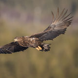White-tailed Eagle (7)