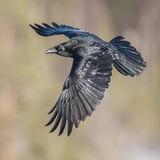 Raven (1)