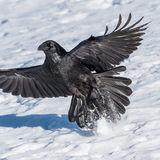 Raven (3)