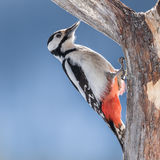 Great Spotted Woodpecker (3)