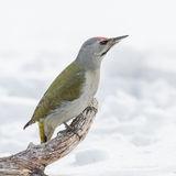 Grey-headed Woodpecker (2)