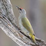 Grey-headed Woodpecker (3)