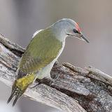 Grey-headed Woodpecker (5)