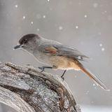 Siberian Jay (2)