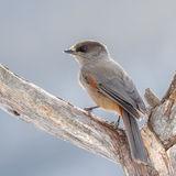 Siberian Jay (5)