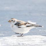 Snow Bunting (3)
