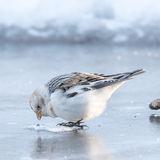 Snow Bunting (5)