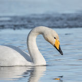 Whooper Swan (4)