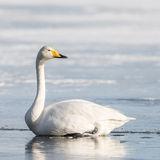 Whooper Swan (5)