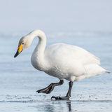 Whooper Swan (7)