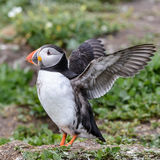 Atlantic Puffin (4)