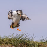 Atlantic Puffin (6)