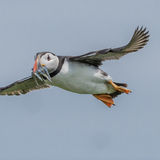 Atlantic Puffin (17)