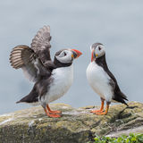 Atlantic Puffin (19)