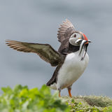 Atlantic Puffin (20)