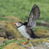 Atlantic Puffin (22)