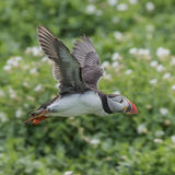 Atlantic Puffin (23)
