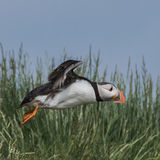 Atlantic Puffin (28)