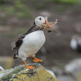 Atlantic Puffin (30)