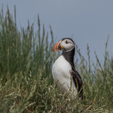 Atlantic Puffin (31)