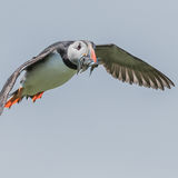 Atlantic Puffin (32)