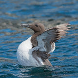 Common Guillemot (2)
