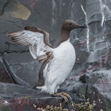 Common Guillemot (4)