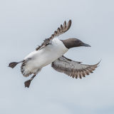 Common Guillemot (6)