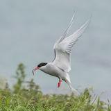 Arctic Tern (4)