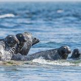 Grey Seal (3)