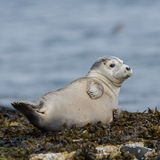 Grey Seal (4)