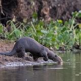 Giant River Otter (2)