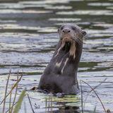 Giant River Otter (4)