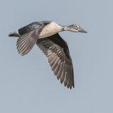 Knob-billed Duck (1)