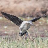 Knob-billed Duck (2)