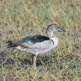 Knob-billed Duck (3)