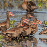 Black-bellied Whistling-Duck (3)
