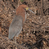 Rufescent Tiger-Heron (5)