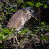 Boat-billed Heron (1)