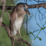 Boat-billed Heron (2)
