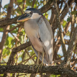 Boat-billed Heron (4)