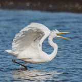 Great White Egret (7)